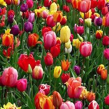 Plants Bulbs Canada Bulbs And Plants For Fall