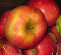 some delicious apples, which you may someday enjoy yourself if you download the Fedco Trees catalog and order some of our hardy, productive apple trees