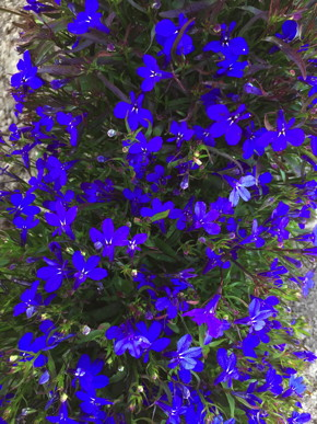 Crystal Palace Blue Lobelia Fedco Seeds