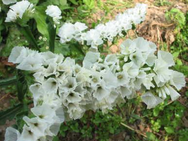 Fedco seeds qis white flower seeds qis white statice mightylinksfo
