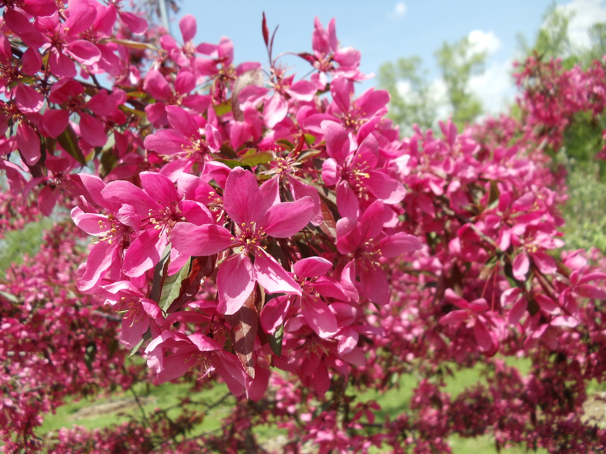 Fedco Trees Cardinal De Richelieu Roses