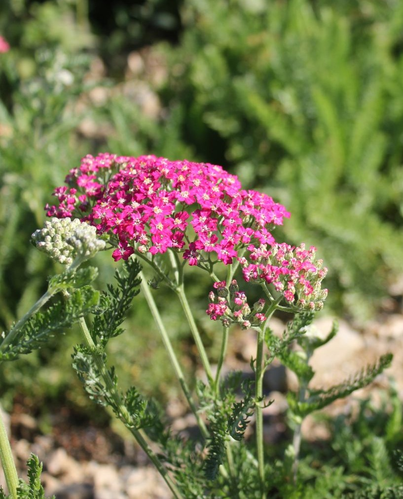 'Summer Pastels' Yarrow