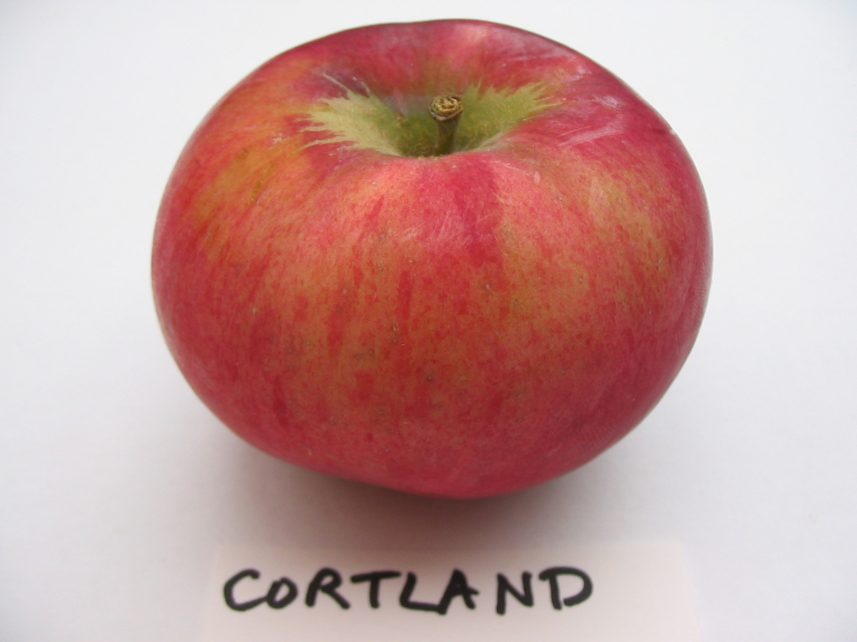 Cortland Apple Scionwood