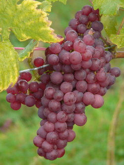 trees grapes image
