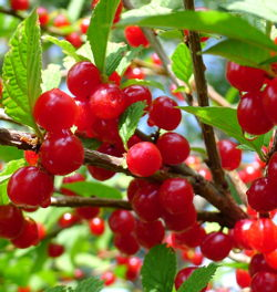 nanking cherries image