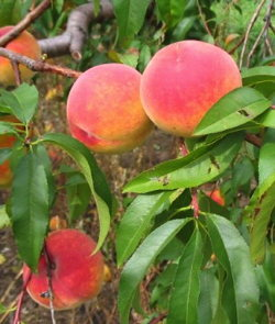 trees peaches image